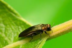 Agrilus Jewel Beetle On Leaf Royalty Free Stock Photography