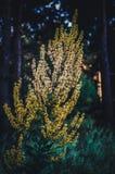 Agrimonia amarillo grande del arbusto en un fondo del bosque oscuro de la mañana que tira de abajo hacia arriba Foco selectivo so foto de archivo libre de regalías