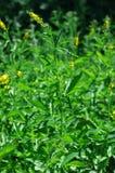 Agrimonia eupatoria Lizenzfreie Stockbilder