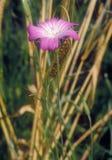 Agrimonia eupatoria Obraz Stock