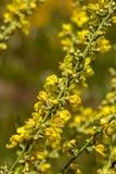 Agrimonia eupatoria Zdjęcia Royalty Free