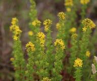 Agrimonia eupatoria Obraz Royalty Free