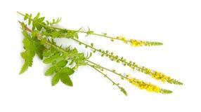 Agrimonia eupatoria, agrimony, church steeples or sticklewort. Isolated on white background Royalty Free Stock Image