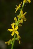 Agrimonia eupatoria. Common agrimony is a medicinal plant. Latin name - Agrimonia eupatoria Royalty Free Stock Photography