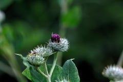 Agrimony Śródpolna roślina Zdjęcie Royalty Free