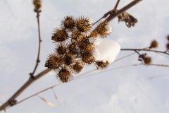 Agrimony στο χιόνι Στοκ Φωτογραφίες