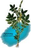 Agrimony Стоковые Изображения