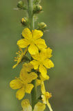 Agrimony Royalty Free Stock Image