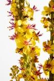 Agrimony, bach λουλούδι Στοκ εικόνες με δικαίωμα ελεύθερης χρήσης