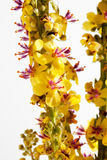 Agrimony, bach flower. Details of Agrimony, bach flower Royalty Free Stock Images