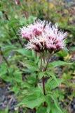 Agrimony (eupatorium cannabinum) kwiatostan Zdjęcia Stock