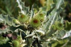 Agrimony i spindelnätet, taggiga knoppar och sidor, grön bakgrund Arkivbilder