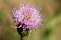 Agrimony kwiat w okwitnięciu Zdjęcie Royalty Free