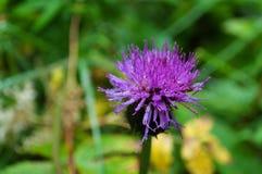 Agrimony kwiat z kroplami Zdjęcia Royalty Free