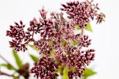 Agrimony, lecznicza roślina Fotografia Royalty Free