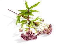 Agrimony, lecznicza roślina Zdjęcia Stock