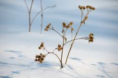 Agrimony nella neve Fotografie Stock Libere da Diritti
