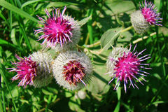 Agrimony. Prickly thistle blooms summer day Stock Image