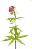 Agrimony ulistnienie i kwiaty obraz stock