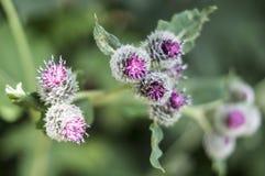 Agrimony, uma cabeça de flor que se adira aos animais e à roupa Foto de Stock Royalty Free