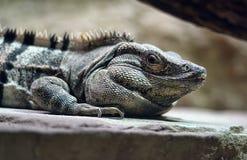 Agrionemys black iguana. A Black spiny tailed iguana Royalty Free Stock Photo