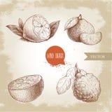 Agrios dibujados mano del estilo del bosquejo fijados Limón medio, cal, mandarina, mandarín, rebanada anaranjada y bergamota con  Imágenes de archivo libres de regalías