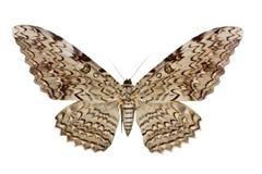 agrippinathysania Arkivbilder