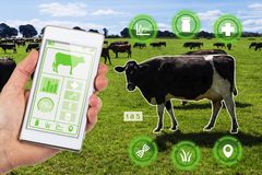 Agritech concept smartphone app accessing dairy cows data and st. Agritech concept showing a herd of dairy cows in a field with farmer accessing selected cows stock photo