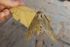 Agrius convolvuli moth. Is an African moth resembling a tiger Royalty Free Stock Images