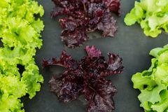 Salad farm and fresh salad leaves Royalty Free Stock Photography