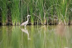 An agro pescaire walking on the water in the lake. Lerida. An agro pescaire of gray color, long legs and beak, small and slanted eyes, feeds on fish, worms royalty free stock photography