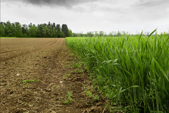 Agro. Plantation of wheat in early spring royalty free stock photos