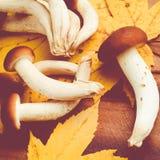 Agrocybe aegerita mushrooms Stock Images