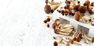 Agrocybe aegerita rozrasta się Pioppino Fotografia Stock
