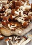 Agrocybe aegerita rozrasta się Pioppino Zdjęcie Royalty Free
