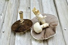 Agrocybe praecox, Spring Fieldcap mushroom stock photos