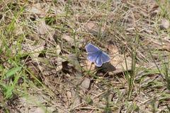 Agrodiaetus amandus motyl z otwartymi skrzydłami Zdjęcie Royalty Free