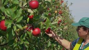 Agronom überprüft den Zustand von Apfelbäumen stock video footage