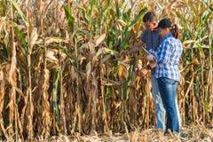 Agronom, der Qualität von Mais kontrolliert lizenzfreies stockbild