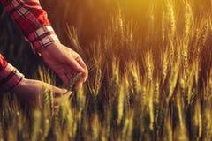 Agronom egzamininuje dojrzałych pszenicznych upraw spikelets Zdjęcia Royalty Free