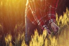 Agronom egzamininuje dojrzałych pszenicznych upraw spikelets Zdjęcia Stock
