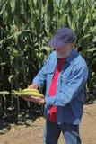 Agronom egzamininuje kukurydzanego cob Zdjęcia Royalty Free