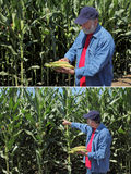 Agronom egzamininuje kukurydzanego cob i pole Obraz Royalty Free