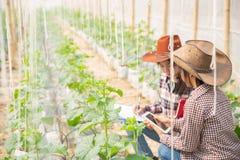 Agronom egzamininuje narastające melonowe rozsady na gospodarstwie rolnym, zdjęcia royalty free