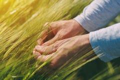 Agronom egzamininuje ucho pszeniczne uprawy w polu Obrazy Royalty Free