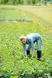 Agronom kobieta pracuje na lato gruli polu Obraz Stock
