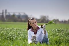 Agronom kobieta sprawdza pszenicznego przyrosta w polu Fotografia Royalty Free