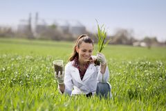 Agronom kobieta sprawdza pszenicznego przyrosta w polu Fotografia Stock