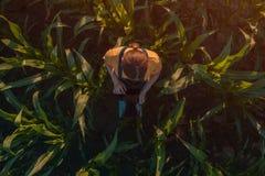 Agronom kobieta używa pastylka komputer w kukurydzanym polu fotografia royalty free