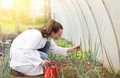 Agronom som bevattnar plantor i växthus royaltyfria bilder